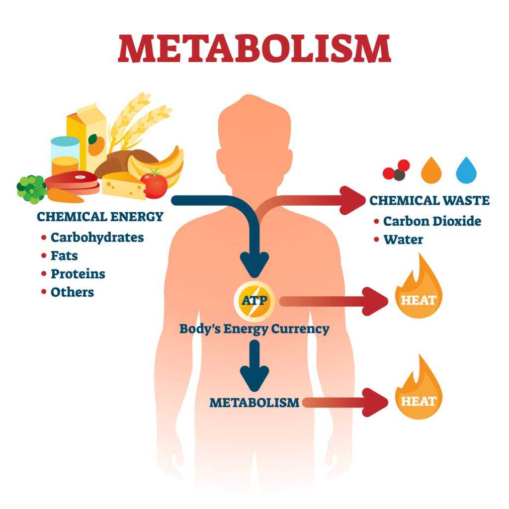 ATP Energy and Metabolism Diagram